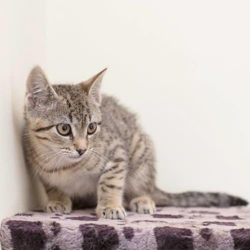 AK3355 - Pocahontas - Domestic Short Hair Cat