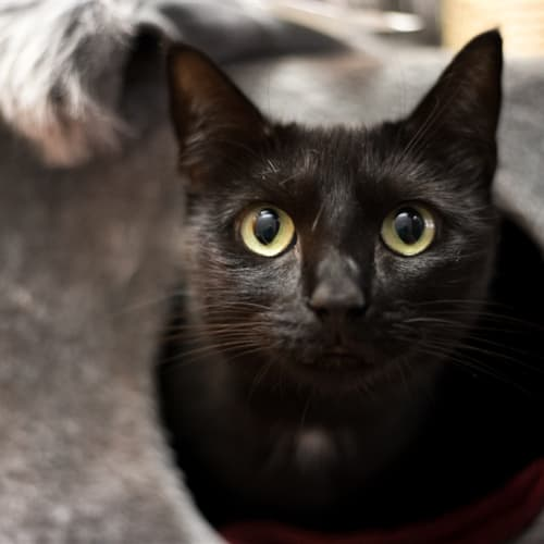 Nyx - Domestic Short Hair x Tonkinese Cat