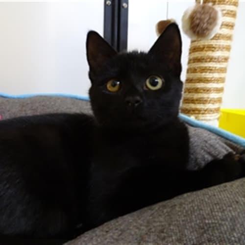 Rizzo - Domestic Short Hair Cat