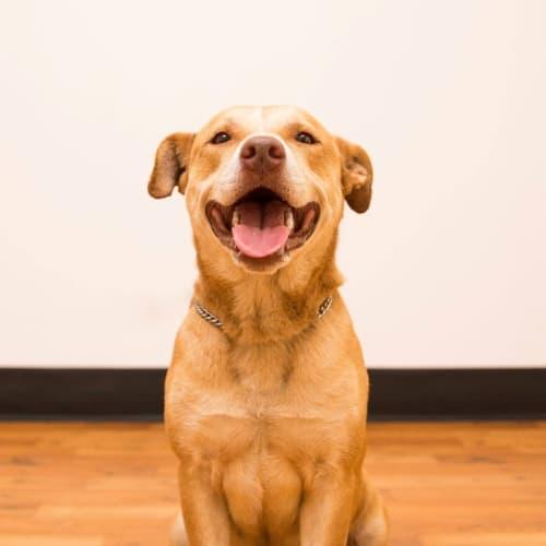 Honey - Labrador Dog