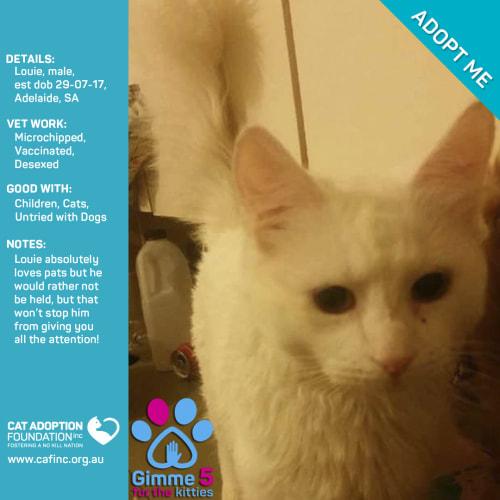 Louie - Domestic Short Hair Cat