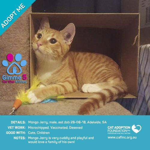 Mongo Jerry - Domestic Short Hair Cat