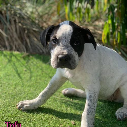 Tofu - Mastiff Dog