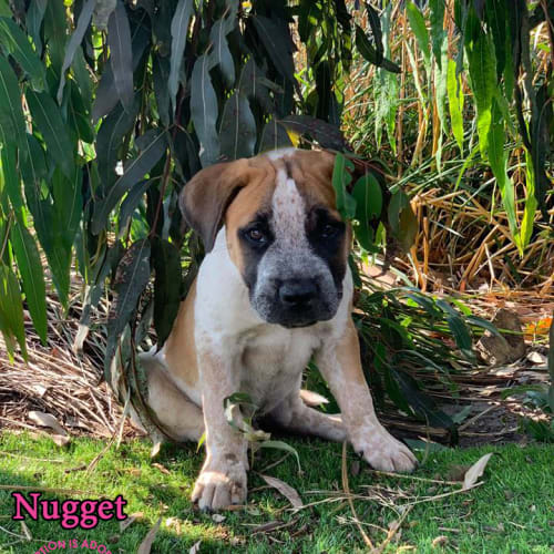 Nugget - Mastiff Dog