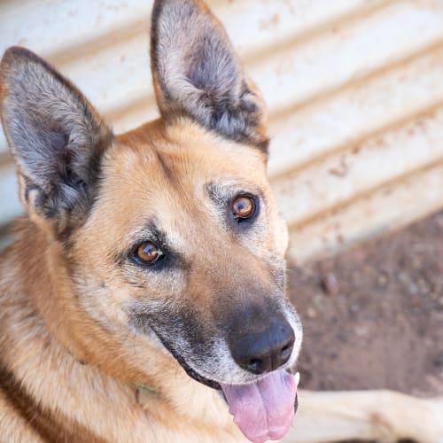 Jesse - Belgian Shepherd - Malinois Dog