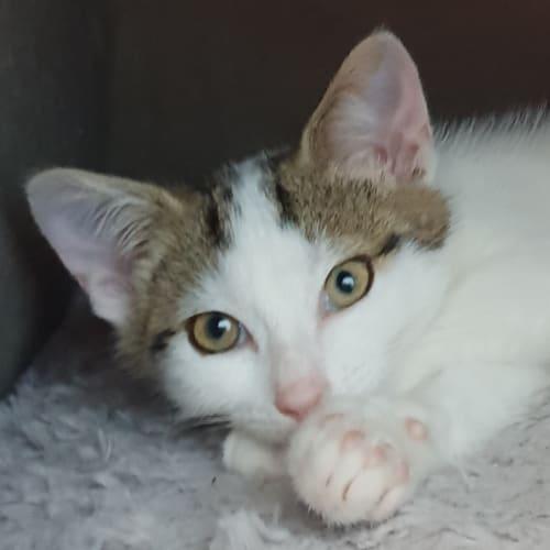 Xerxes - Domestic Short Hair Cat