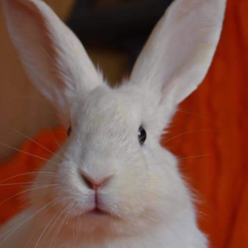 Lucas  - Flemish Giant Rabbit