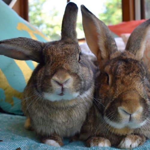 Bruce and Trixie  - Flemish Giant Rabbit