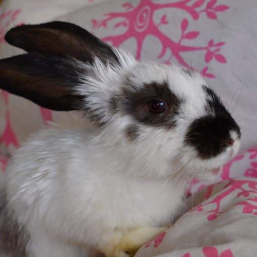 Cathy - Flemish Giant Rabbit