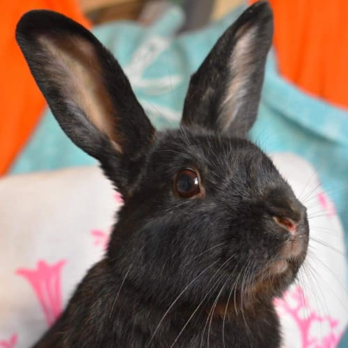 Tahlia  - Domestic Rabbit