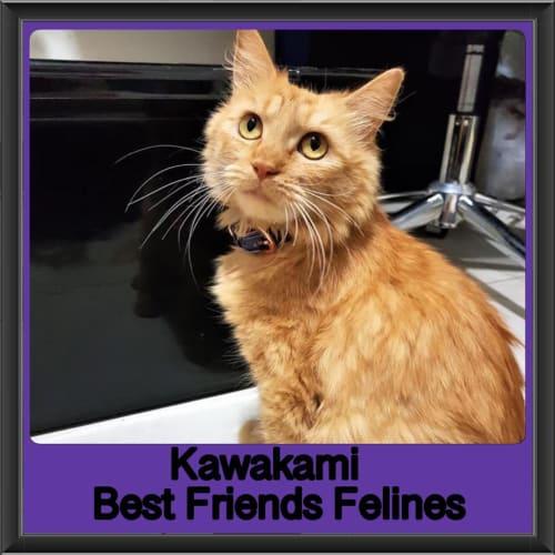 Kawakami  - Domestic Long Hair Cat