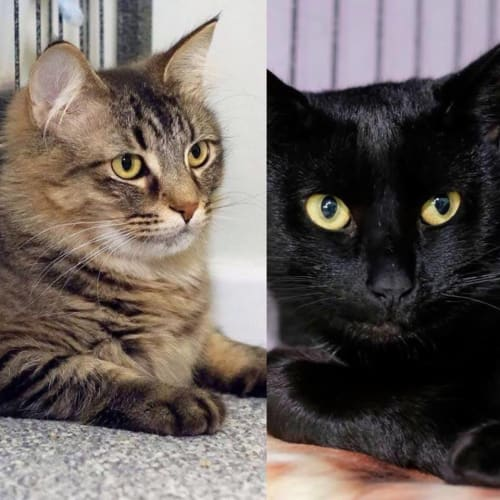 AC0844/AC0843 - Sabrina & Davina - Domestic Medium Hair Cat