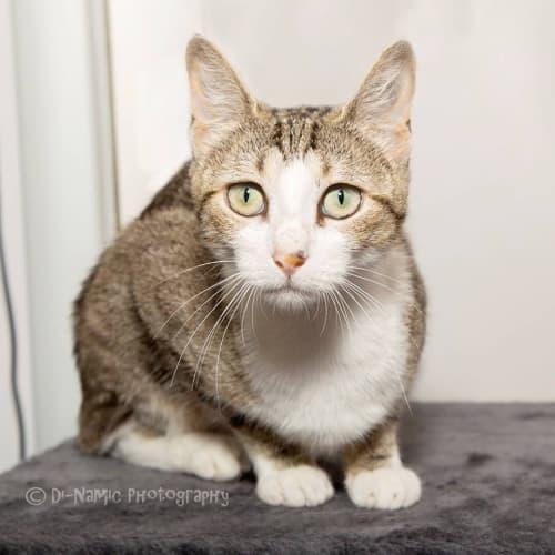 AC1124 - Bella - Domestic Short Hair Cat