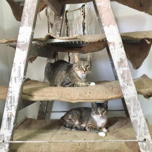Lola and Luna  - Domestic Short Hair Cat