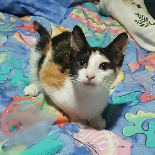 Sky  - Domestic Short Hair Cat