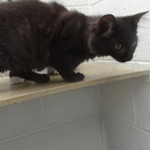 Martha 910359 - Domestic Medium Hair Cat