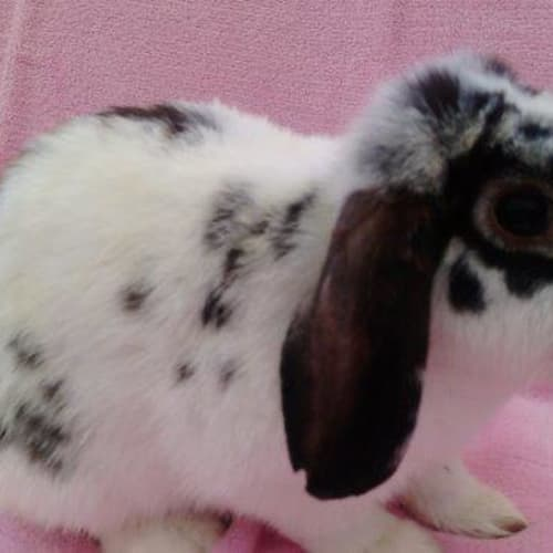 Dorothy  - Lop Eared Rabbit