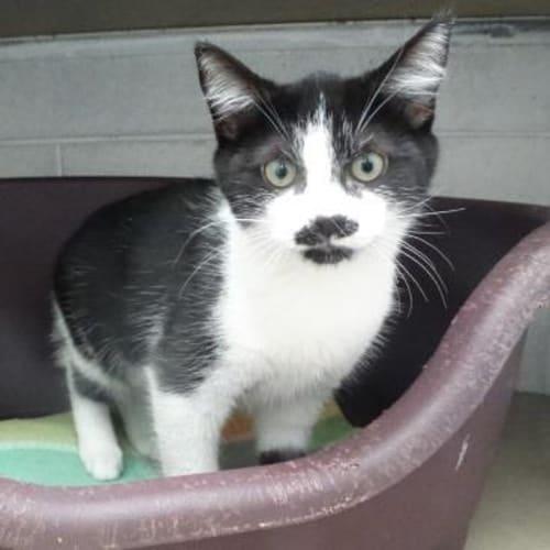 Zena 908040 - Domestic Medium Hair Cat