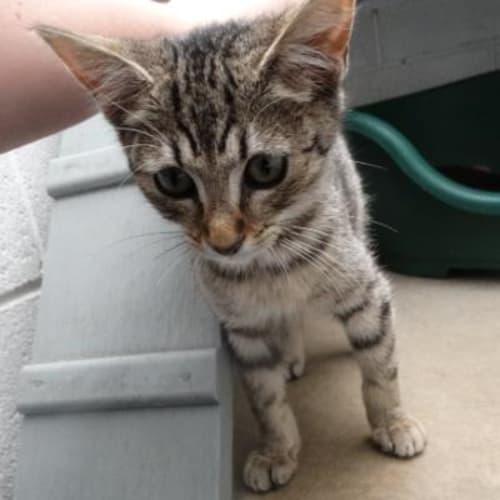 Brutus 910360  - Domestic Short Hair Cat