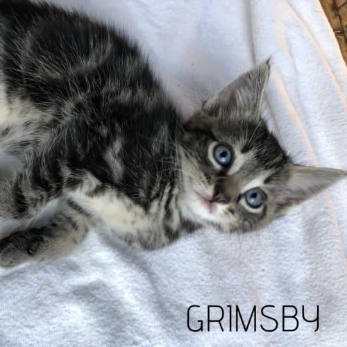 Grimsby - Domestic Short Hair Cat