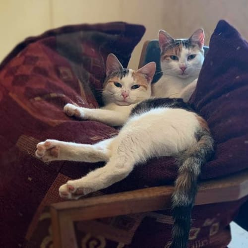 Ivy and Evie - Domestic Short Hair Cat