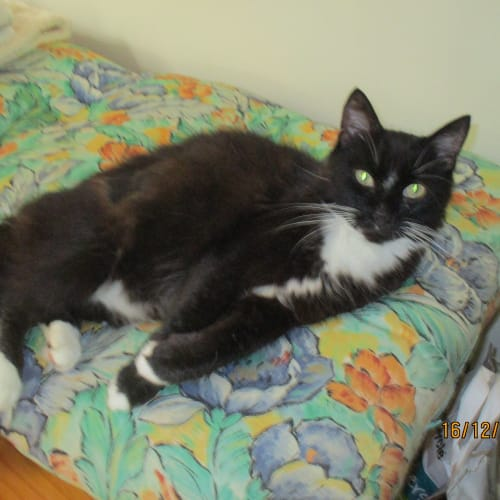 Dolly - Domestic Medium Hair Cat