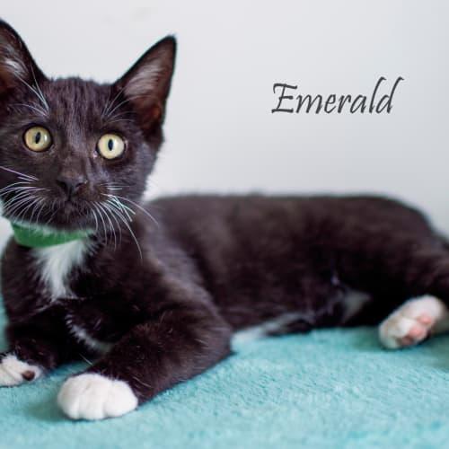 Emerald - Domestic Short Hair Cat