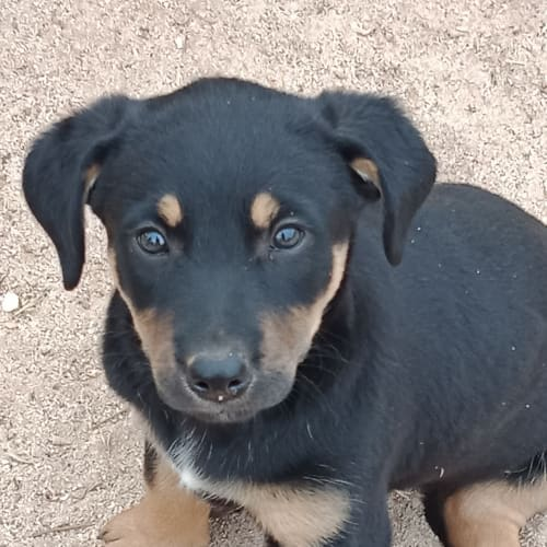 Farah - Cross breed Dog