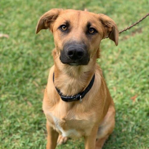 Rosie  - Cross breed Dog