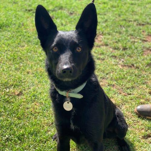 Mila - Cross breed Dog