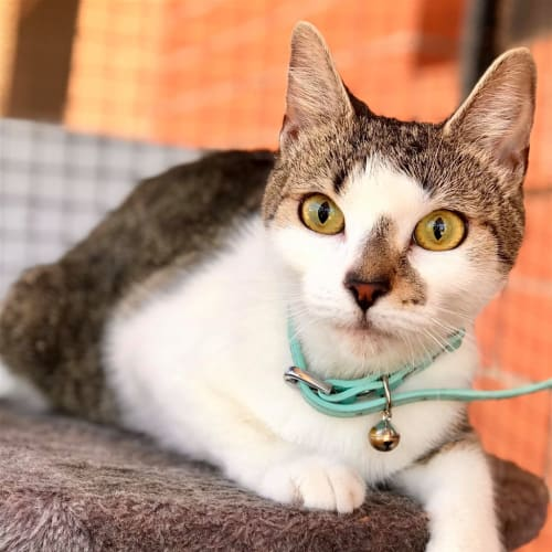 Itty Bitty  - Domestic Short Hair Cat