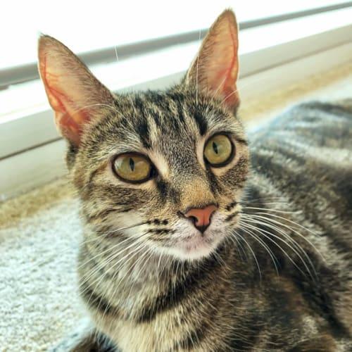 Clementine  - Domestic Short Hair Cat