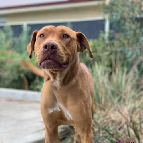 Cruise - Mastiff Dog