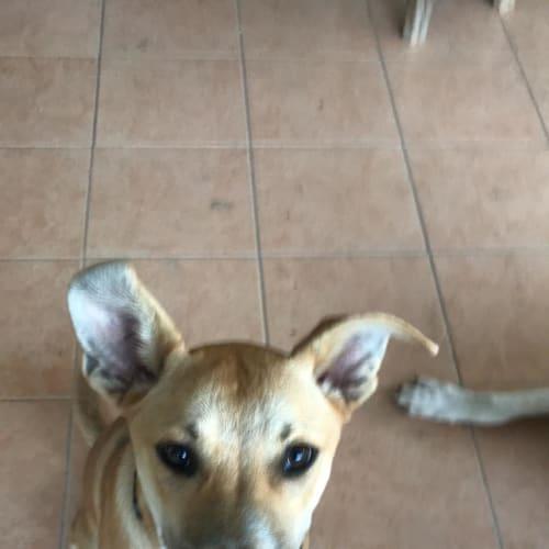 Wombi - Kelpie Dog