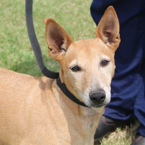 Marley - Fox Terrier Dog