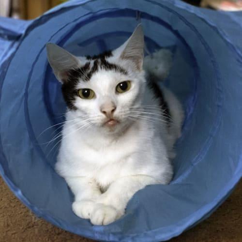 Wellington  - Domestic Short Hair Cat