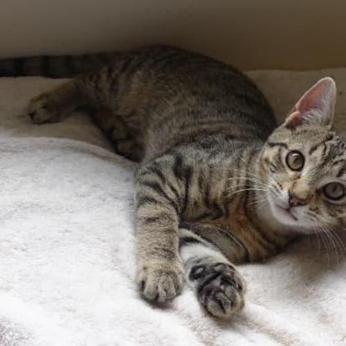 Tweedle - Domestic Short Hair Cat