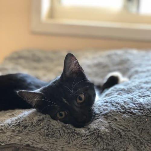 Skeeter - Domestic Short Hair Cat