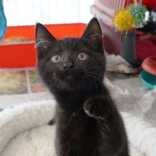 Minnow - Domestic Short Hair Cat
