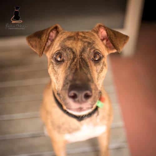 Dixi - Kelpie x Staffordshire Bull Terrier Dog