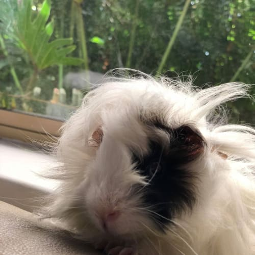 Snowflake **on trial with my new family** -  Guinea Pig