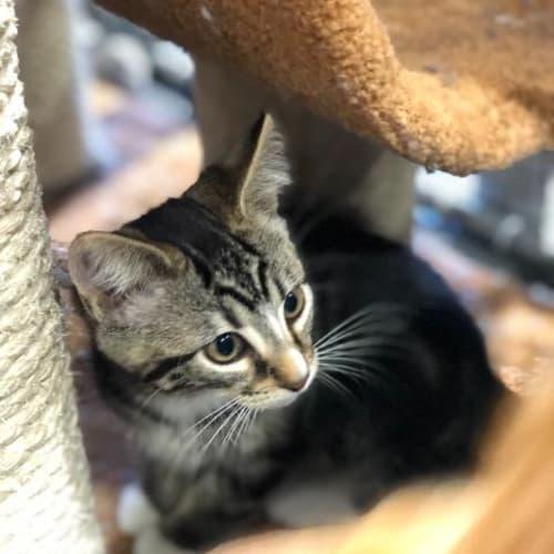 Boots - Domestic Short Hair Cat
