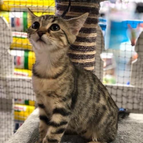 Sal - Domestic Short Hair Cat