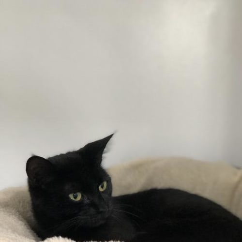 Kelso - Domestic Short Hair Cat