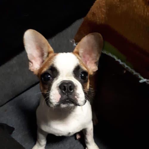 Freddy - French Bulldog