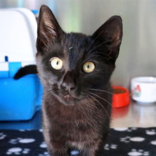 Wayne - Domestic Short Hair Cat