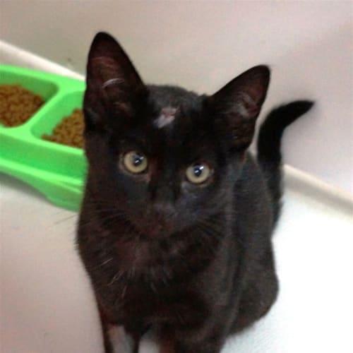 Davie - Domestic Short Hair Cat