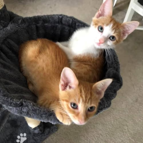 Honey and Bella - Domestic Short Hair Cat