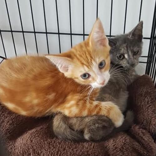 Saber and Stormy - Domestic Short Hair Cat