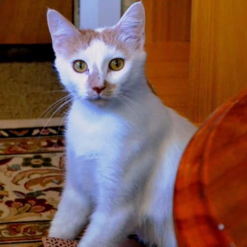 Lagatha (Located in Belgrave) - Domestic Short Hair Cat